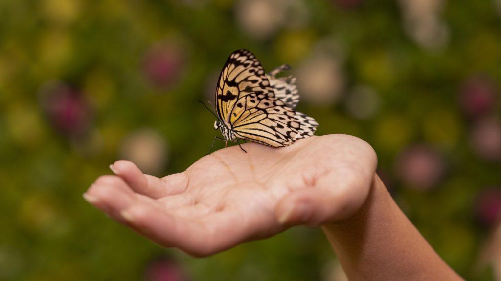 motýľ na dlani