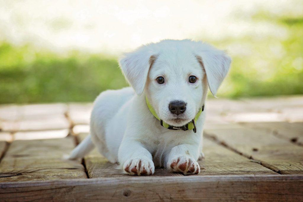 pes, šteniatko